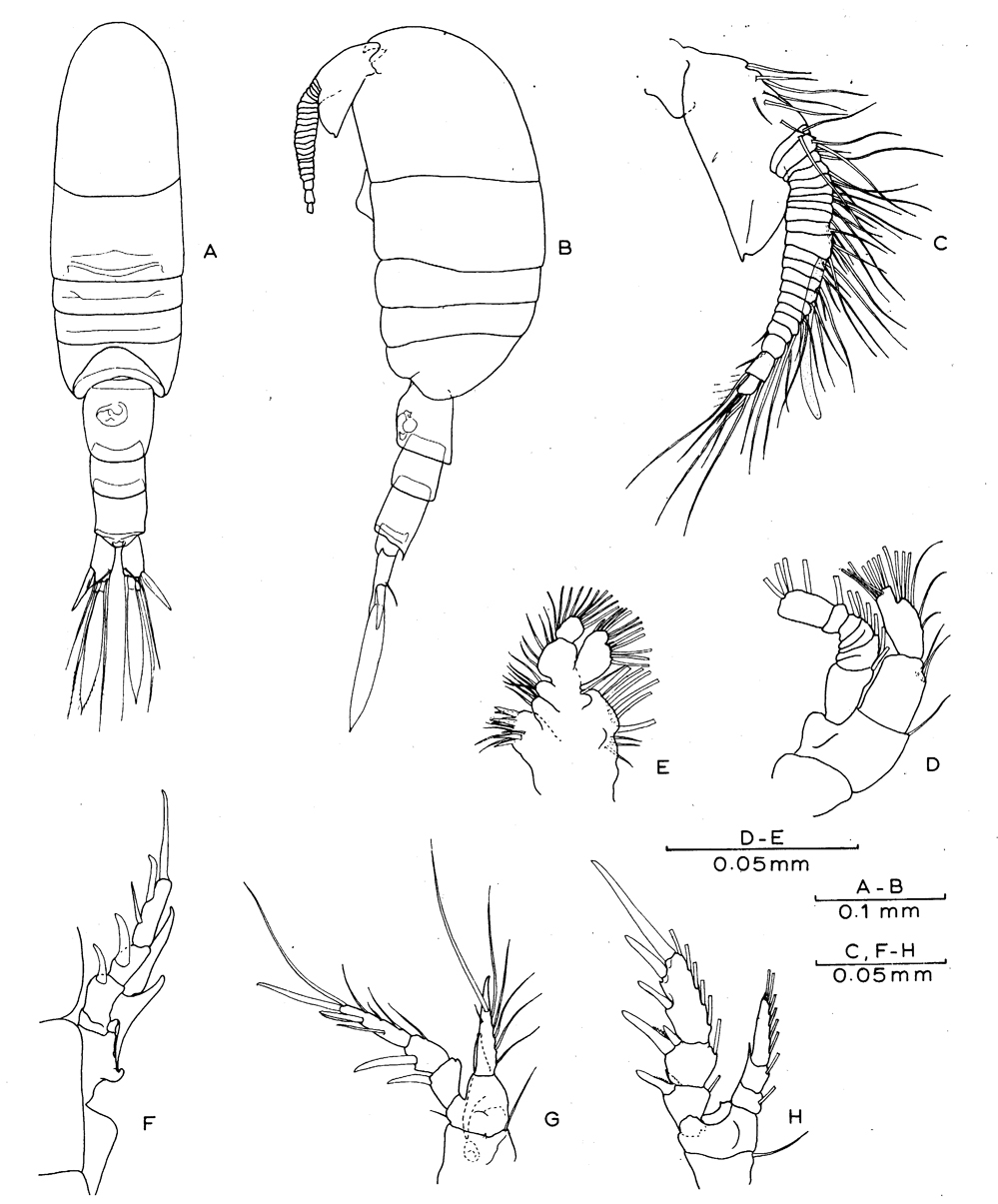 Species Placocalanus nannus - Plate 1 of morphological figures