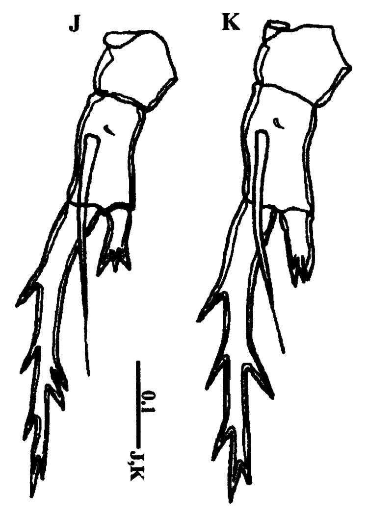 Species Pontella karachiensis - Plate 4 of morphological figures