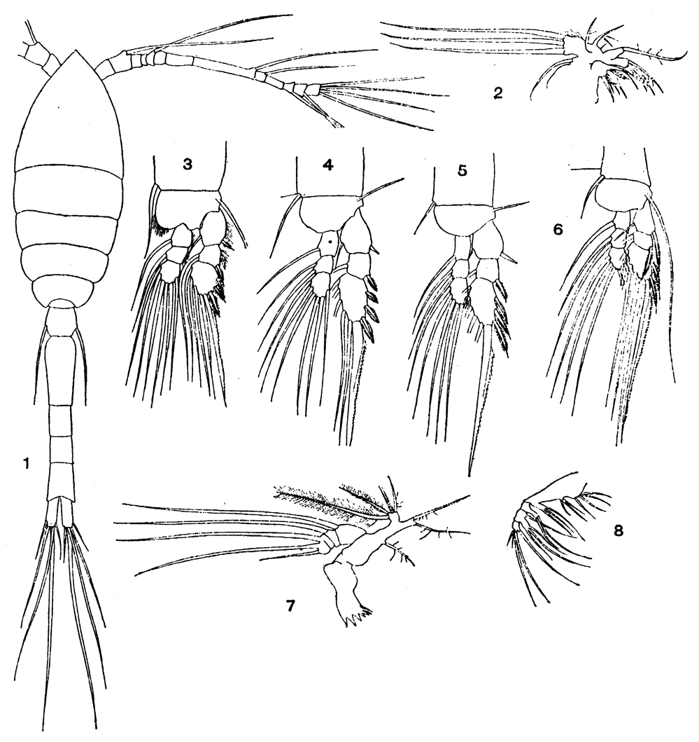 Species Oithona robusta - Plate 5 of morphological figures