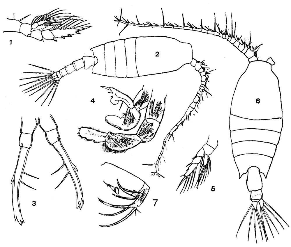 Species Candacia discaudata - Plate 5 of morphological figures
