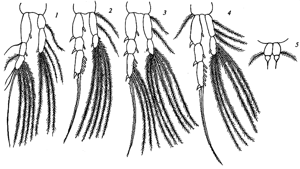 Species Acartia eremeevi - Plate 2 of morphological figures