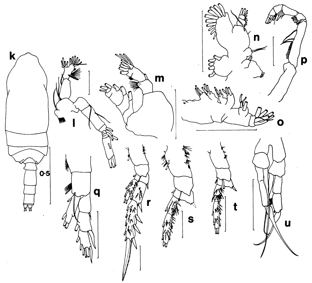 Species Spinocalanus brevicaudatus - Plate 9 of morphological figures