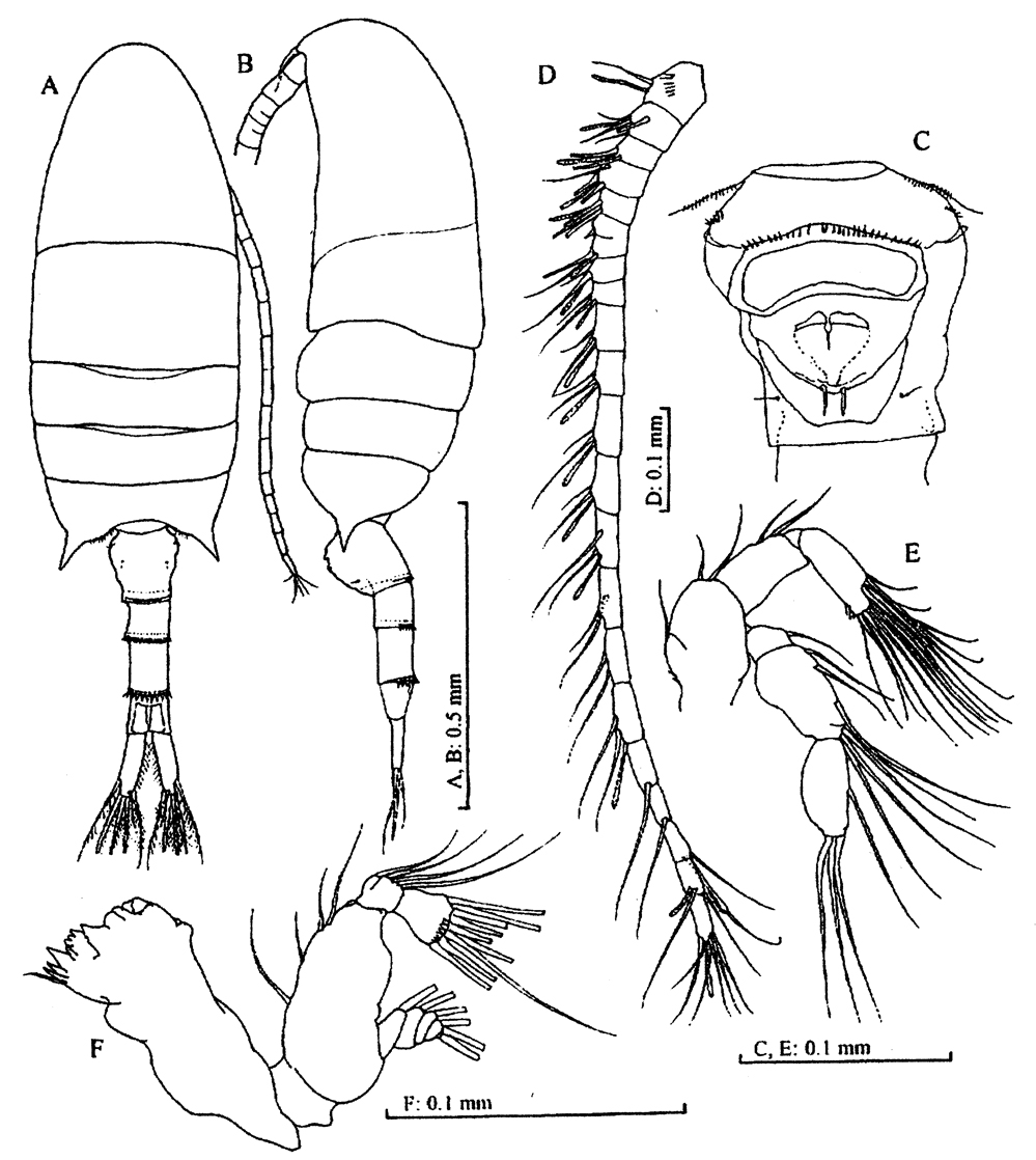 Species Pseudodiaptomus sulawesiensis - Plate 1 of morphological figures