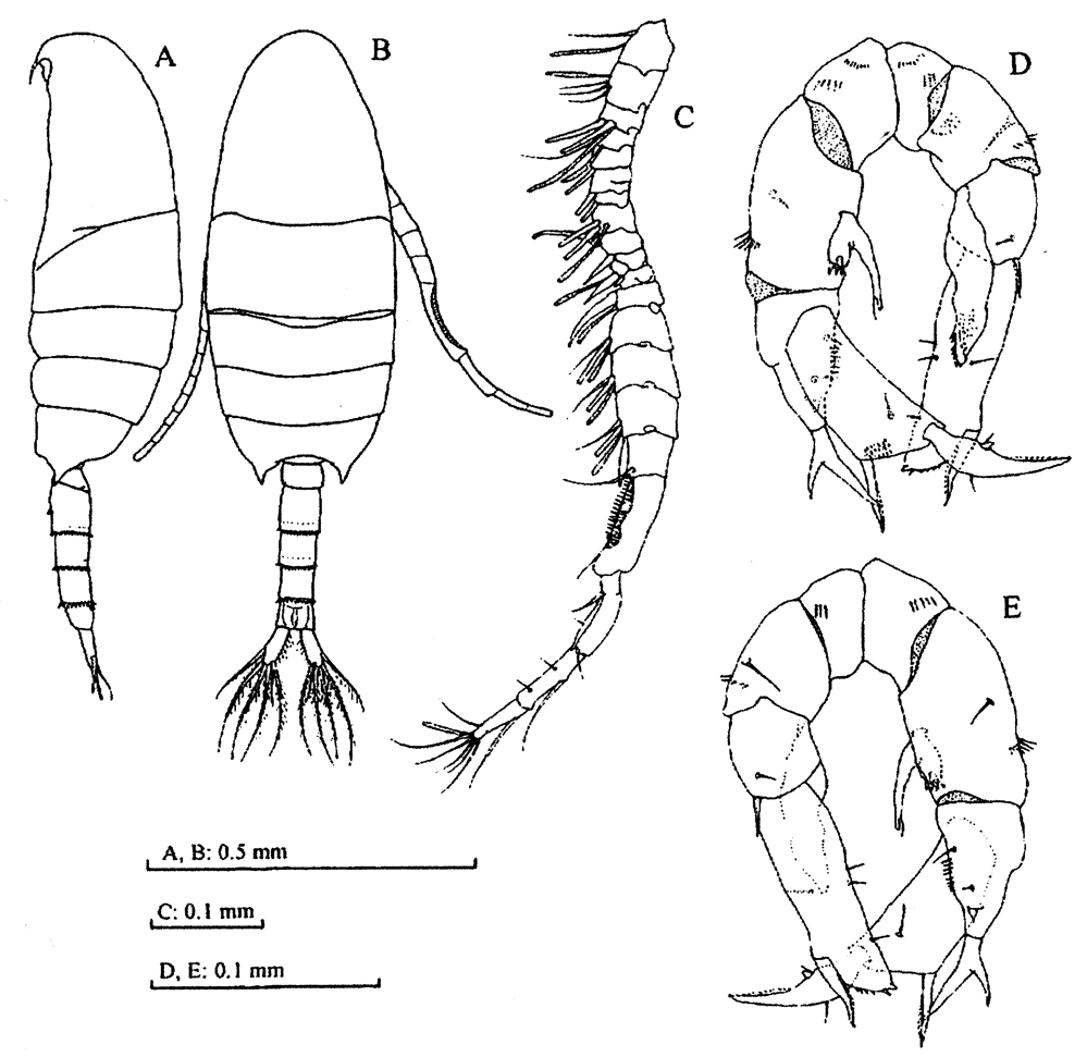 Species Pseudodiaptomus sulawesiensis - Plate 4 of morphological figures