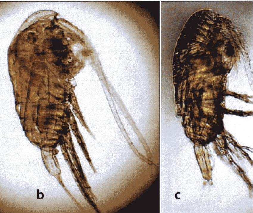 Species Acrocalanus gibber - Plate 8 of morphological ...