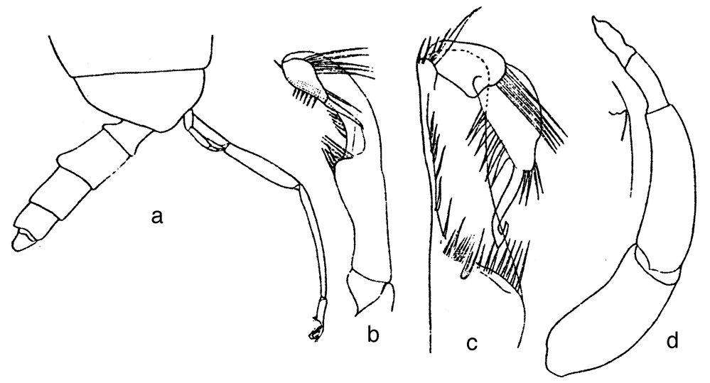 Species Xanthocalanus claviger - Plate 3 of morphological figures