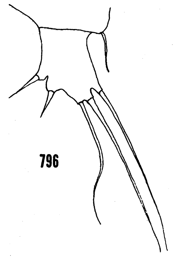 Species Ratania flava - Plate 11 of morphological figures
