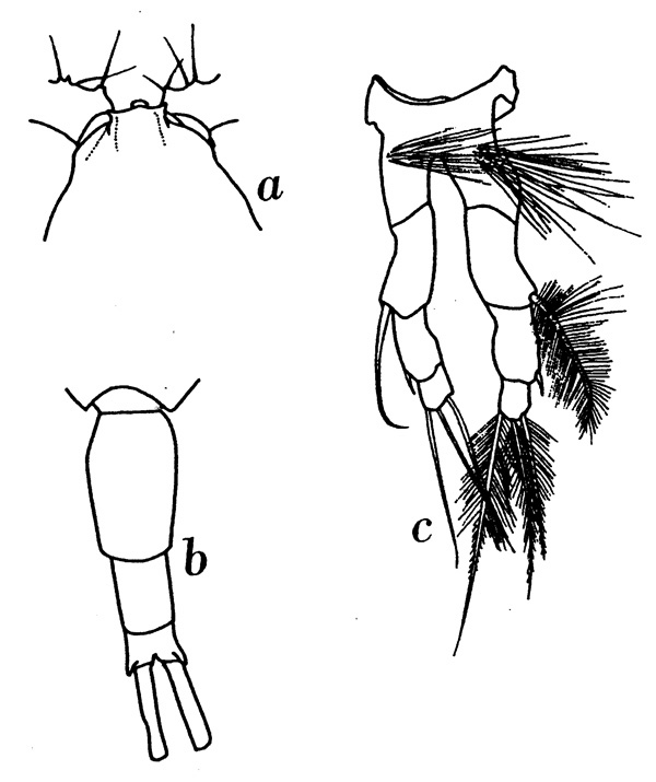 Species Metridia princeps - Plate 7 of morphological figures