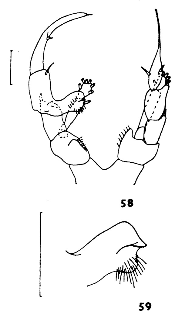 Species Heterorhabdus lobatus - Plate 4 of morphological figures