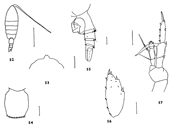 Species Heterorhabdus lobatus - Plate 3 of morphological figures