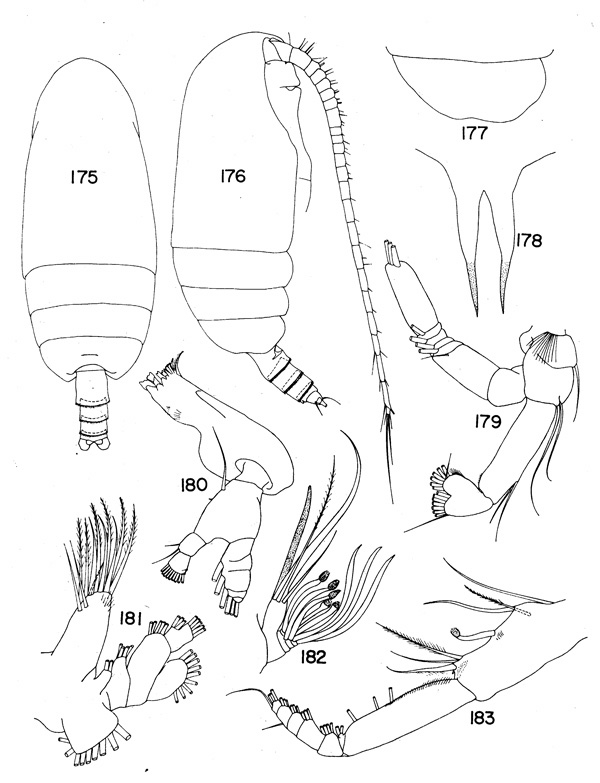 Species Amallothrix pseudoarcuata - Plate 2 of morphological figures