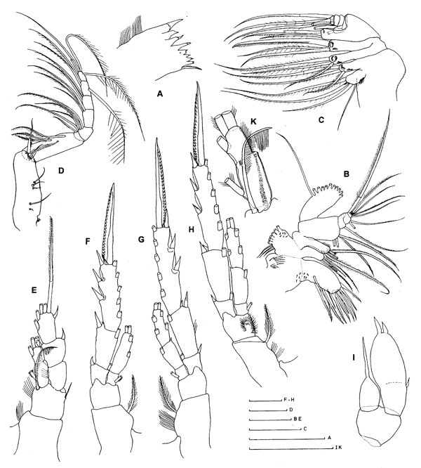 Species Mospicalanus schielae - Plate 2 of morphological figures