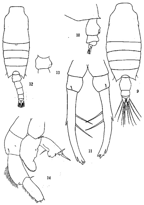 Species Candacia discaudata - Plate 1 of morphological figures