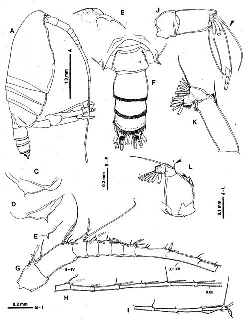 Species Macandrewella stygiana - Plate 6 of morphological figures