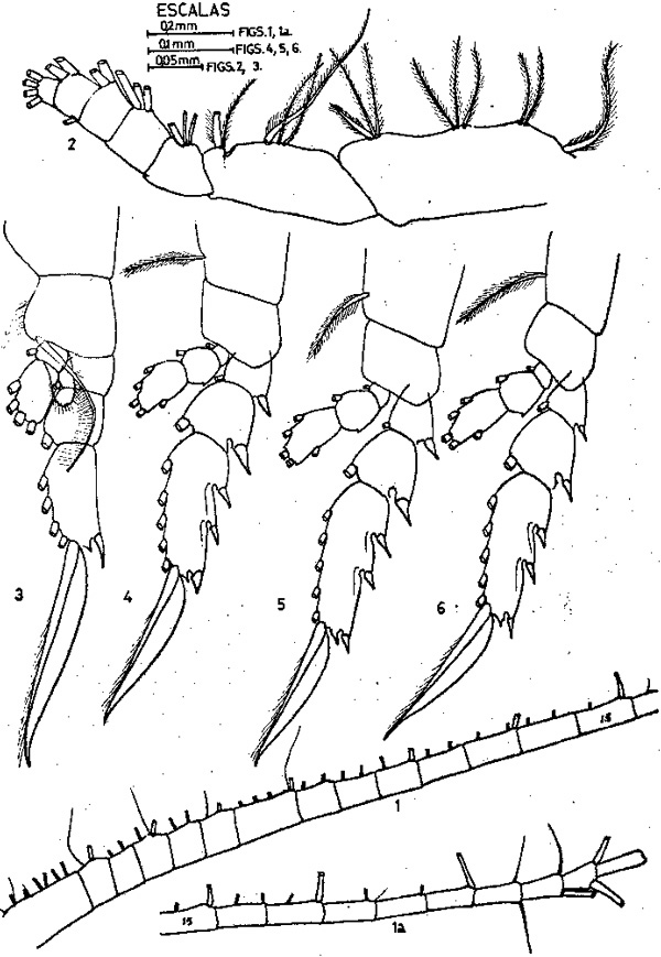 Species Subeucalanus monachus - Plate 6 of morphological figures