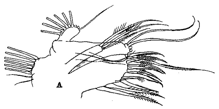 Species Euchirella bella - Plate 5 of morphological figures
