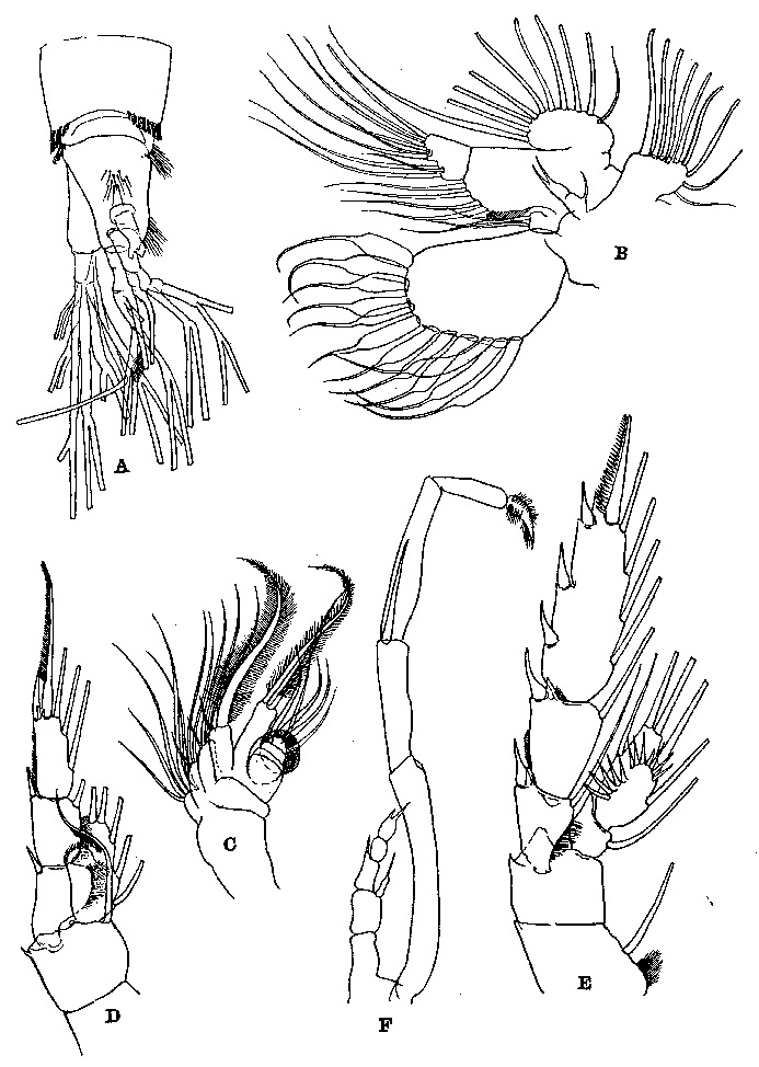 Species Talacalanus greeni - Plate 4 of morphological figures