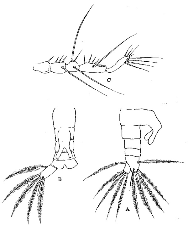 Species Monstrilla anglica - Plate 1 of morphological figures