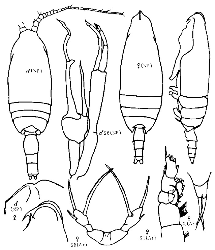 Species Scaphocalanus magnus - Plate 9 of morphological figures