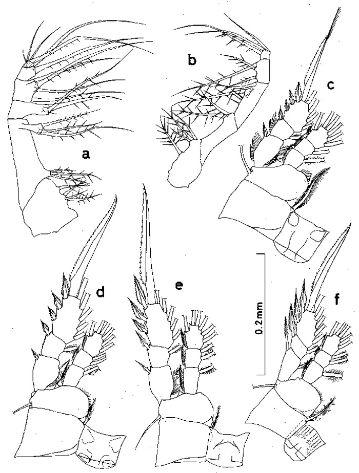 Species Oithona robusta - Plate 2 of morphological figures