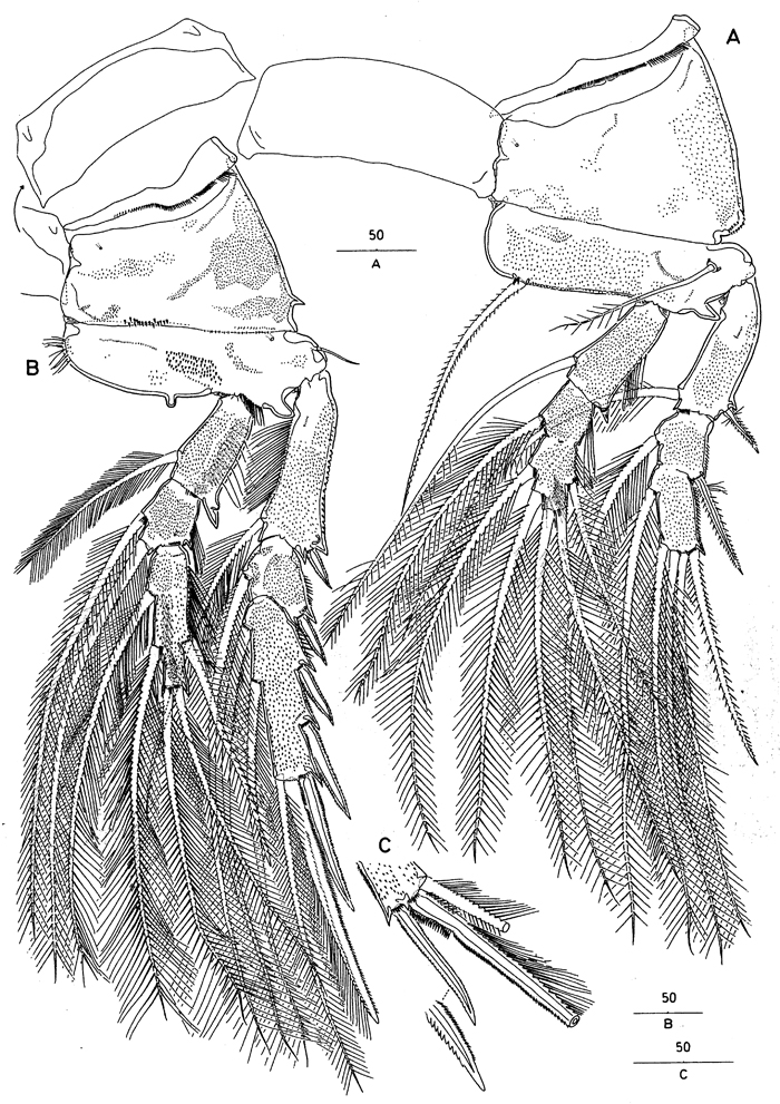 Species Andromastax muricatus - Plate 10 of morphological figures