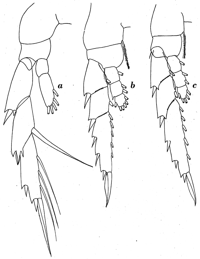 Species Lucicutia ovalis - Plate 9 of morphological figures