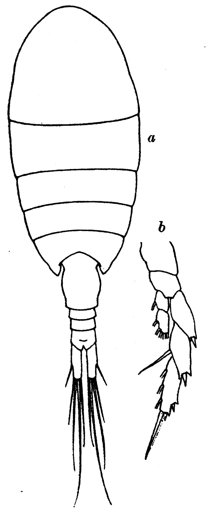 Species Lucicutia ovalis - Plate 11 of morphological figures
