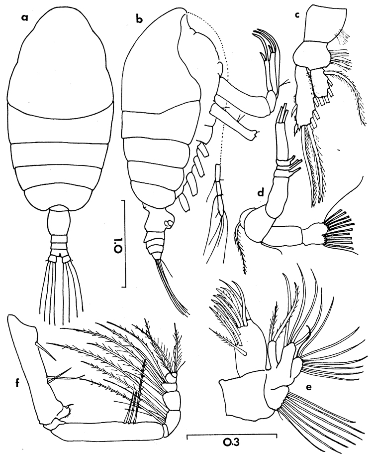 Species Chiridiella bichela - Plate 2 of morphological figures