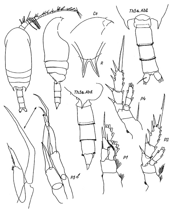 Species Bradyidius similis - Plate 2 of morphological figures