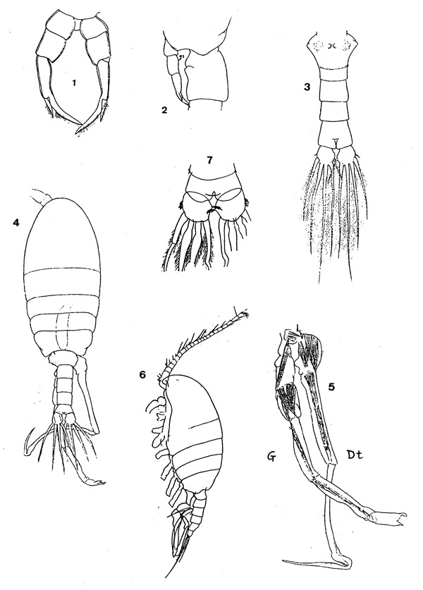 Species Stephos longipes - Plate 1 of morphological figures