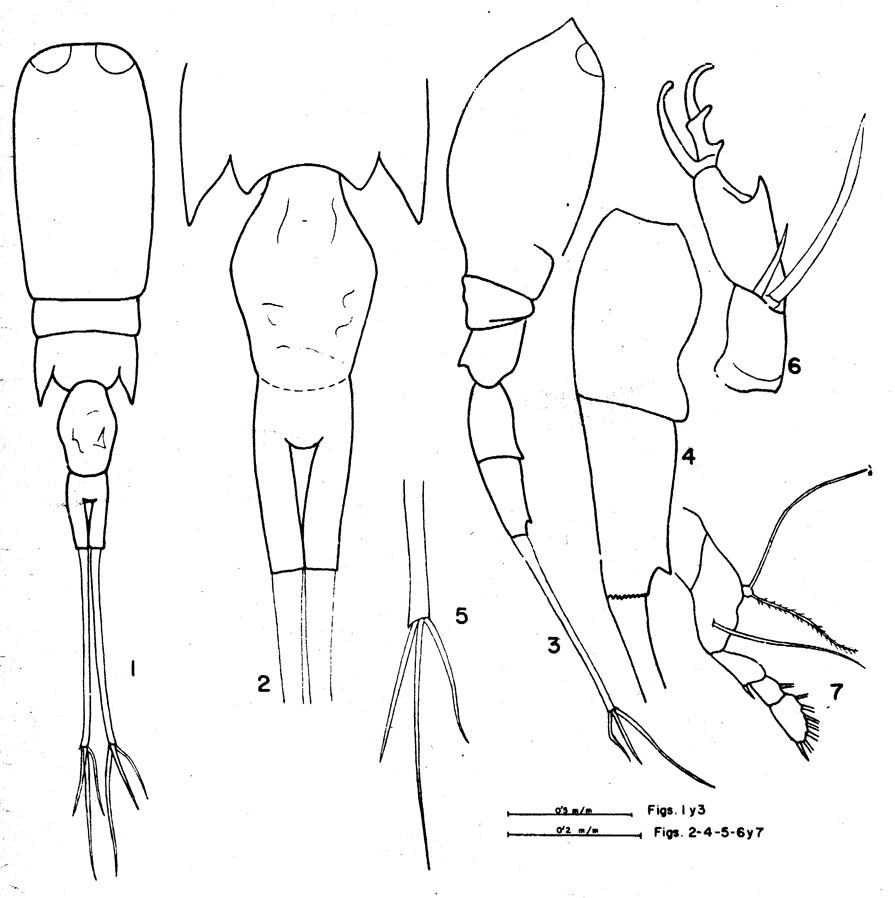 Species Corycaeus (Urocorycaeus) lautus - Plate 11 of morphological figures