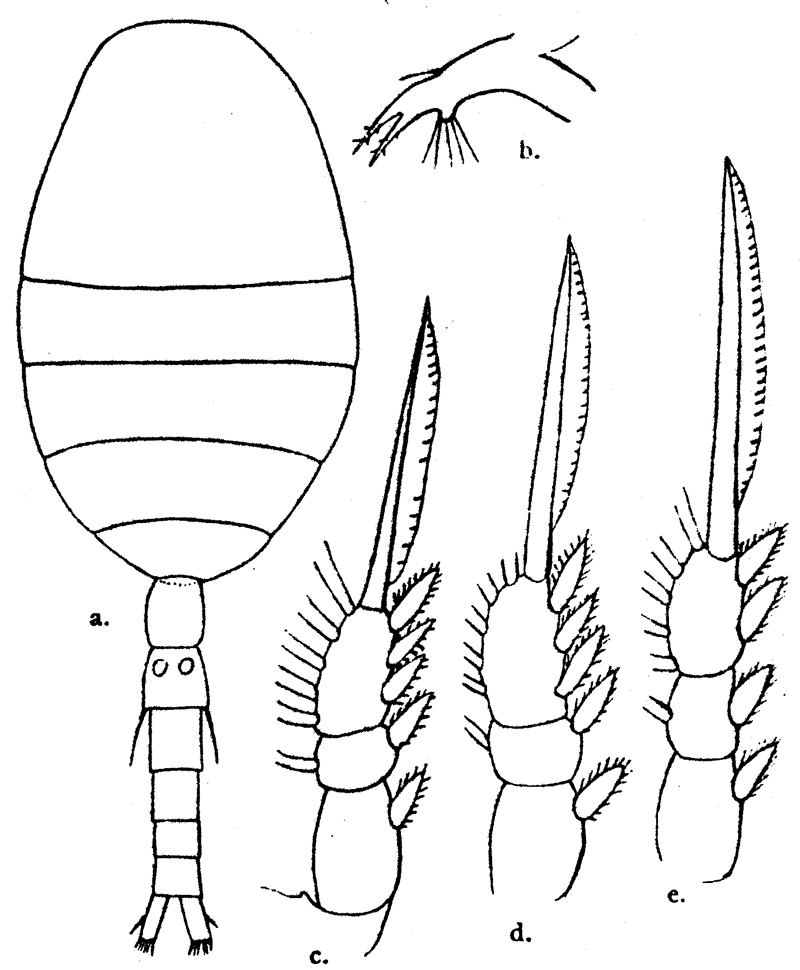 Species Oithona robusta - Plate 4 of morphological figures