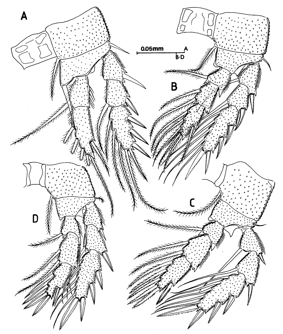 Species Speleophriopsis balearicus - Plate 3 of morphological figures