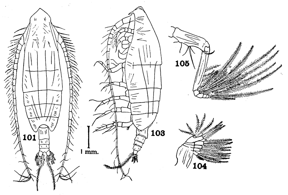 Species Euchirella grandicornis - Plate 3 of morphological figures