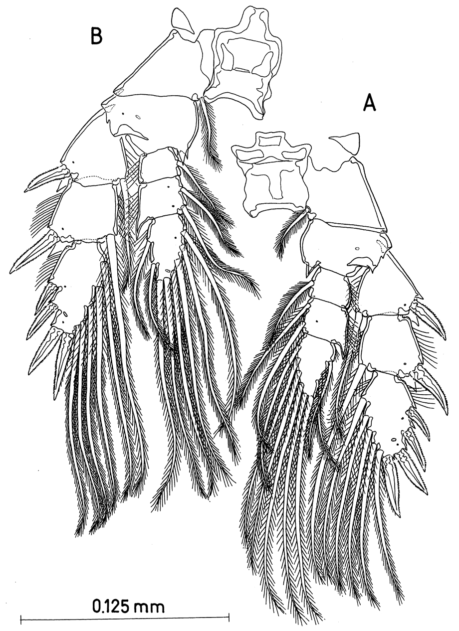 Species Paramisophria mediterranea - Plate 9 of morphological figures
