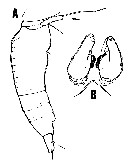 Species Oncaea prolata - Plate 1 of morphological figures