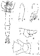 Species Cymbasoma quadridens - Plate 1 of morphological figures