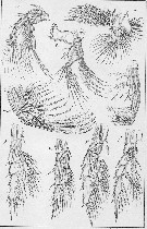Species Centropages typicus - Plate 5 of morphological figures