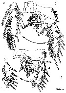 Species Arcticomisophria hispida - Plate 4 of morphological figures
