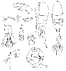 Species Metridia gerlachei - Plate 7 of morphological figures