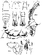Species Pontella karachiensis - Plate 5 of morphological figures