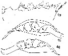 Species Calanoides acutus - Plate 13 of morphological figures