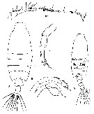 Species Candacia ethiopica - Plate 11 of morphological figures