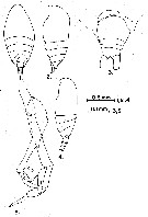 Species Scolecithrix bradyi - Plate 18 of morphological figures