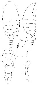 Species Candacia curta - Plate 9 of morphological figures