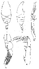 Species Candacia simplex - Plate 6 of morphological figures