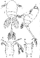 Species Caribeopsyllus amphiodiae - Plate 1 of morphological figures