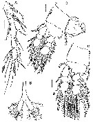 Species Caribeopsyllus amphiodiae - Plate 2 of morphological figures