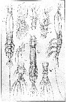 Species Cymbasoma longispinosum - Plate 14 of morphological figures