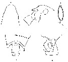 Species Aetideopsis armata - Plate 13 of morphological figures